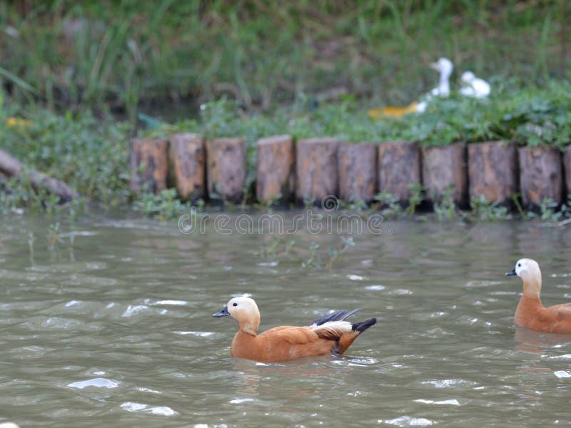 Pássaro corado do pato do shelduck imagem de stock