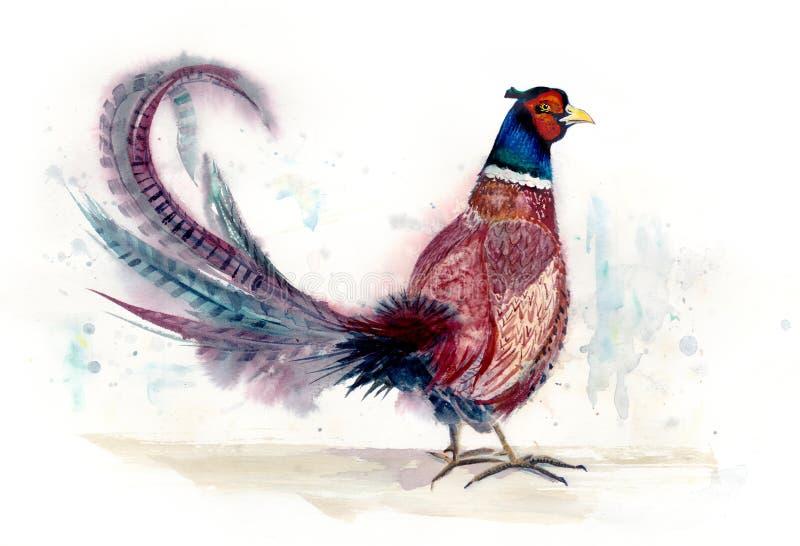 Pássaro da aquarela do faisão ilustração stock