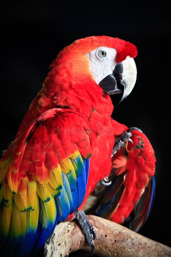 Pássaro da arara imagens de stock royalty free