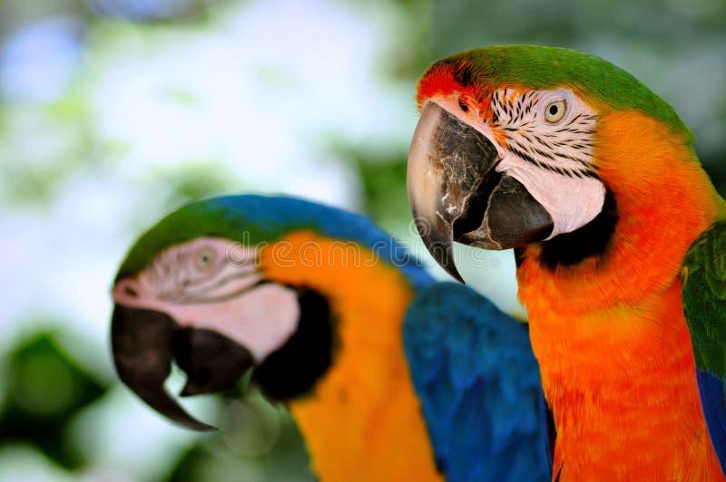 Pássaro da arara foto de stock