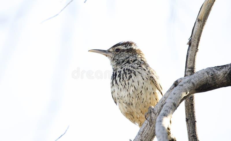 Pássaro da carriça de cacto, deserto do Sonora de Tucson o Arizona imagem de stock