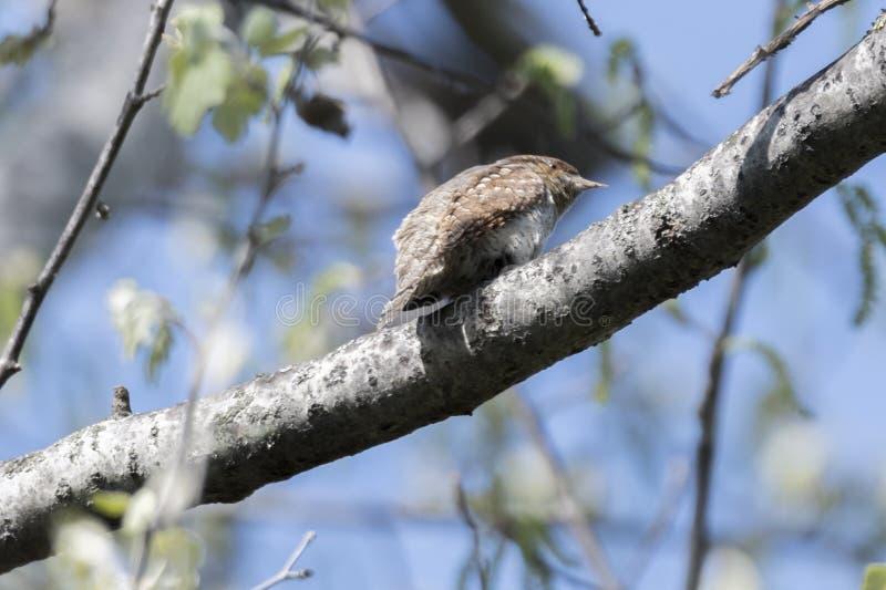 Pássaro da carriça na árvore imagens de stock royalty free