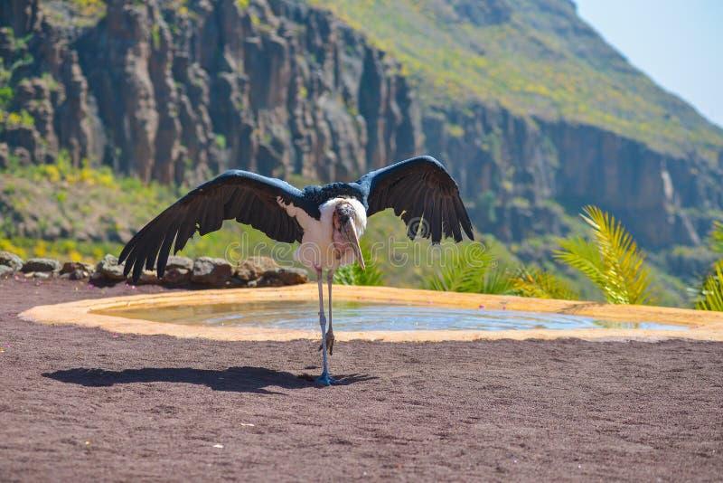 Pássaro da cegonha de marabu nos pássaros da mostra da rapina no parque de Palmitos em Maspalomas, Gran Canaria, Espanha foto de stock royalty free