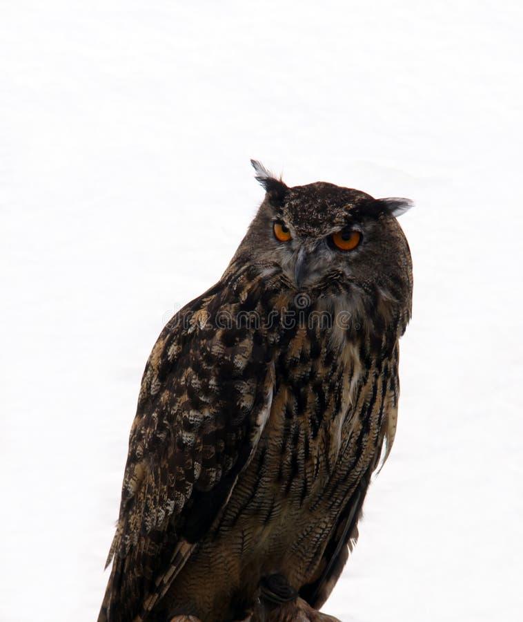 Pássaro da coruja de rapina imagem de stock