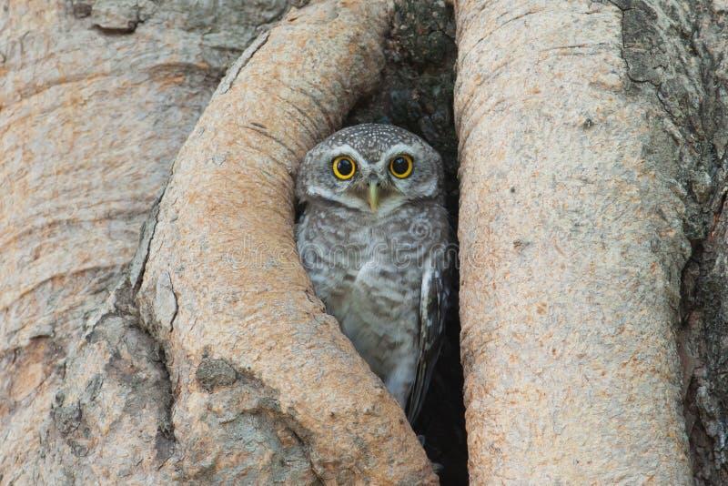 Pássaro da coruja na cavidade da árvore imagem de stock royalty free