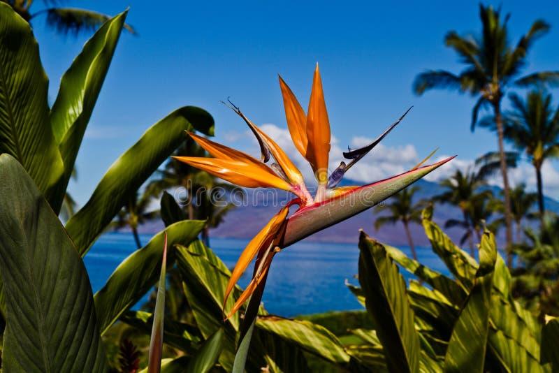 Pássaro da flor de paraíso em Maui foto de stock royalty free