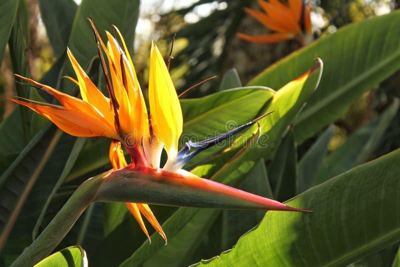 Pássaro da flor de paraíso, planta do Paradisaeidae fotografia de stock royalty free