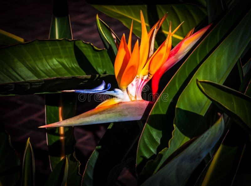 Pássaro da flor do paraíso se aproxima do fundo da folha escura foto de stock royalty free