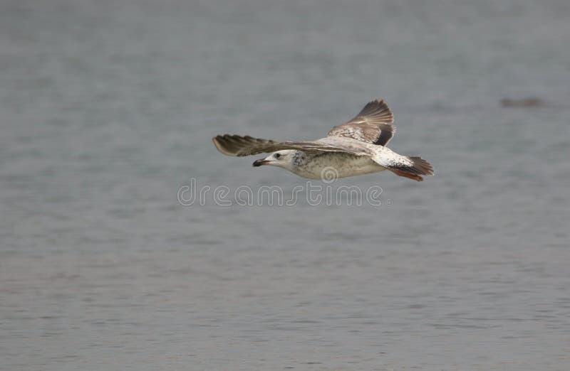 Pássaro da gaivota imagem de stock