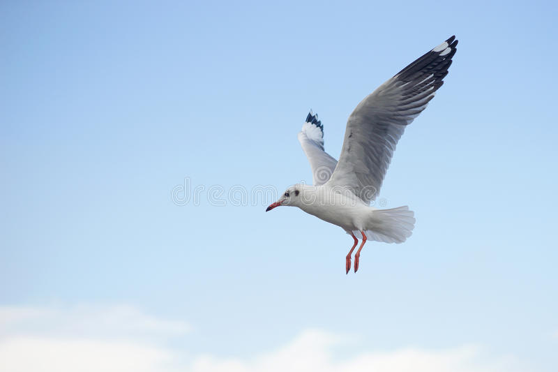 Pássaro da gaivota do voo fotos de stock royalty free