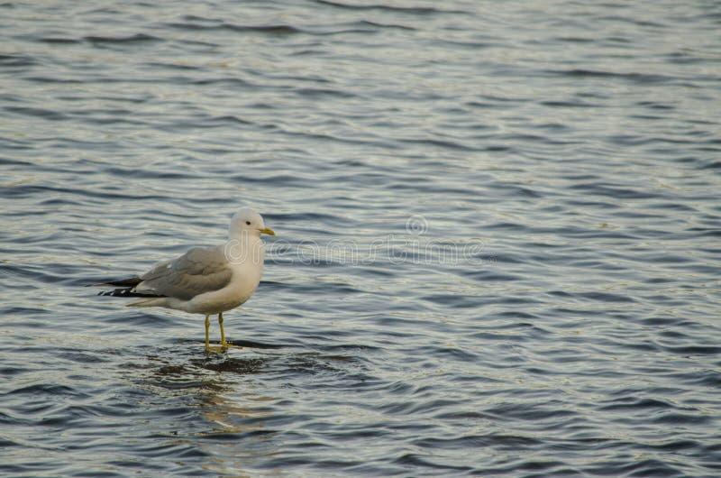 Pássaro da gaivota e seu alvo de espera da sombra na água de um lago em um destino bonito do dia em Europa do Norte imagem de stock royalty free