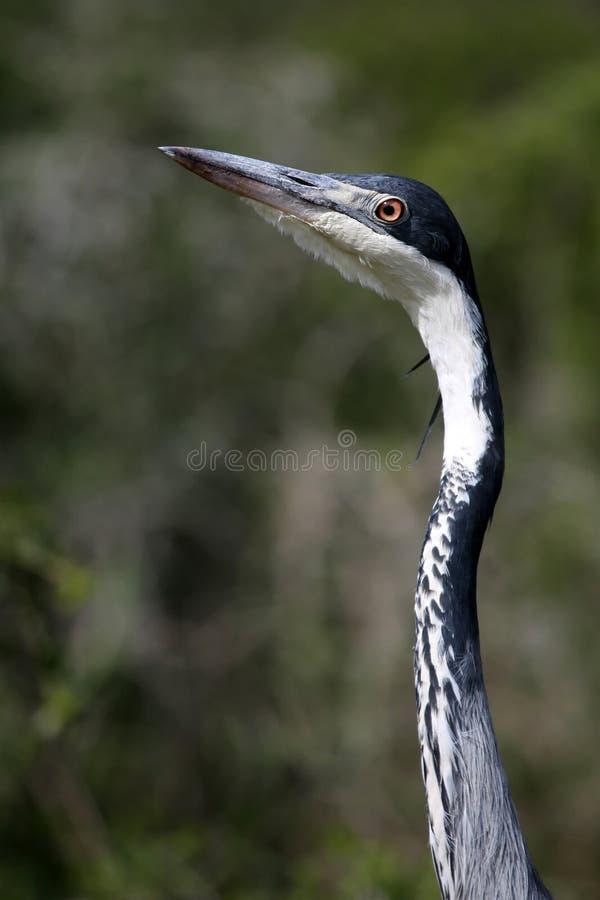 Pássaro da garça-real
