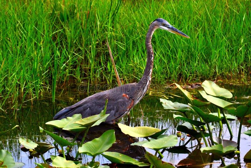Pássaro da garça-real de grande azul fotografia de stock