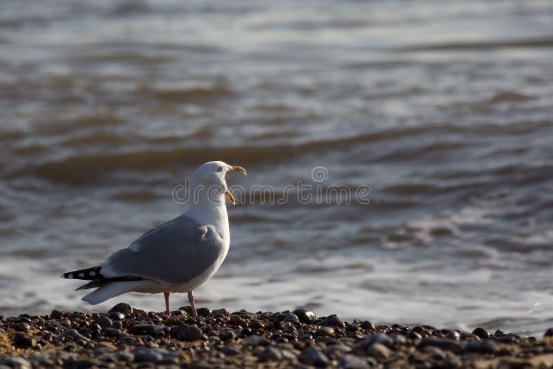 Pássaro da música Meme animal engraçado da gaivota que grita no mar foto de stock royalty free