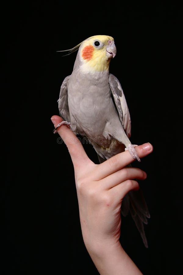 Pássaro da manga fotografia de stock