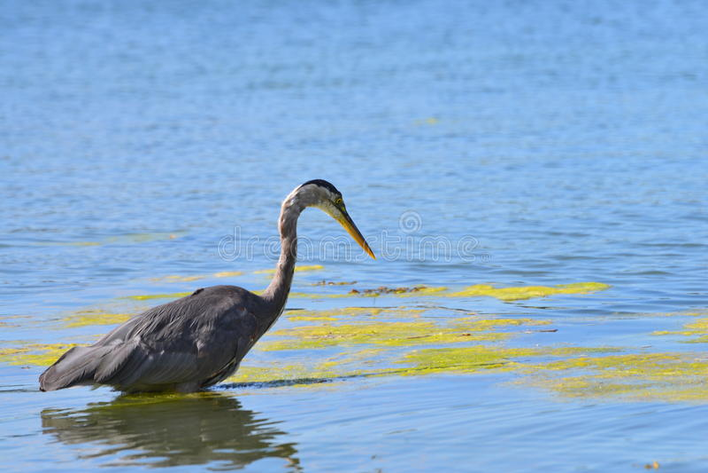pássaro da pesca do æ°'鸟 fotografia de stock