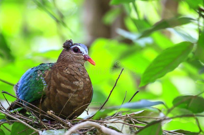 Pássaro da pomba da esmeralda foto de stock royalty free