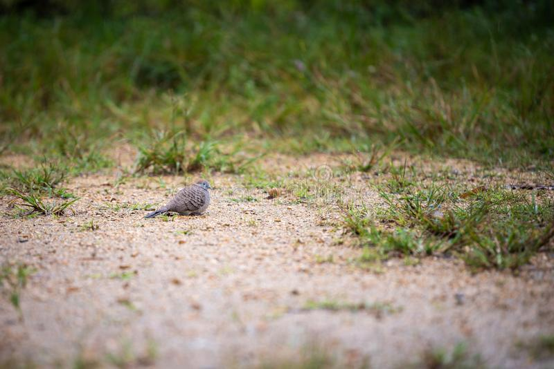 Pássaro da pomba na terra fotografia de stock royalty free
