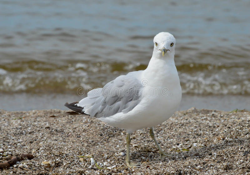 Pássaro da praia fotografia de stock