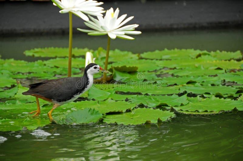 Pássaro de água e lírio de água na lagoa fotos de stock royalty free