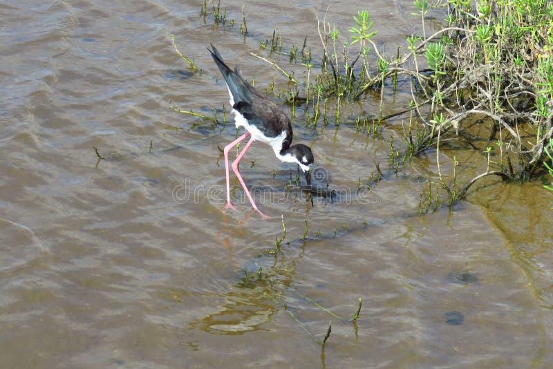 Pássaro de água havaiano do pernas de pau, passeio à beira mar litoral de Kealia, Maui, Havaí imagens de stock
