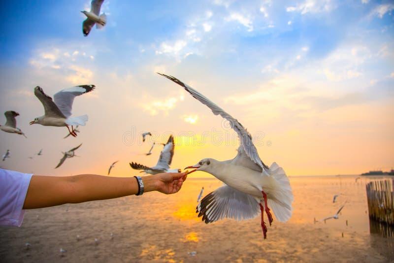 Pássaro de alimentação da gaivota da mão imagem de stock