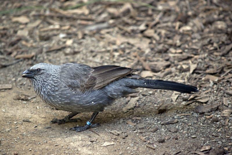 Pássaro de Apostile igualmente conhecido como a ligação em ponte cinzenta, o jaque mau ou o pássaro do cwa imagens de stock royalty free
