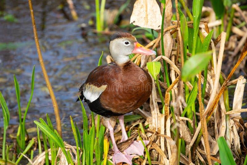 pássaro de assobio Preto-inchado do pato florida EUA fotografia de stock royalty free
