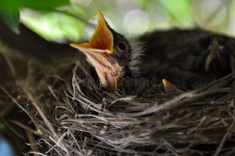 Pássaro de bebê foto de stock royalty free