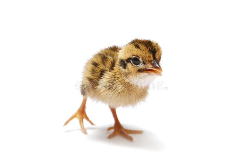 Pássaro de bebê imagem de stock royalty free