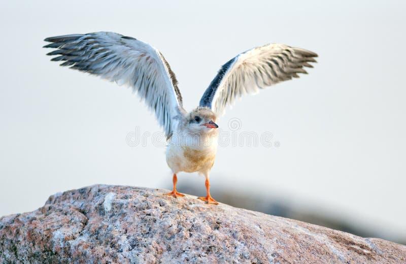 Pássaro de bebê da andorinha-do-mar comum O hirundo comum dos esternos da andorinha-do-mar é uma ave marinho da família Sternidae fotografia de stock