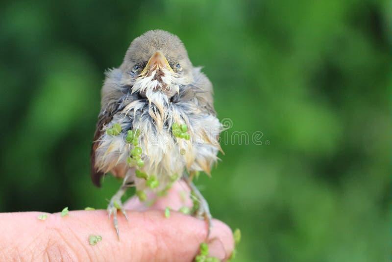 Pássaro de bebê de um tordo em uma lentilha-d'água que senta-se em um dedo imagens de stock royalty free