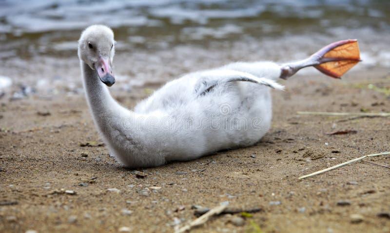Pássaro de bebê de uma cisne no lago imagem de stock