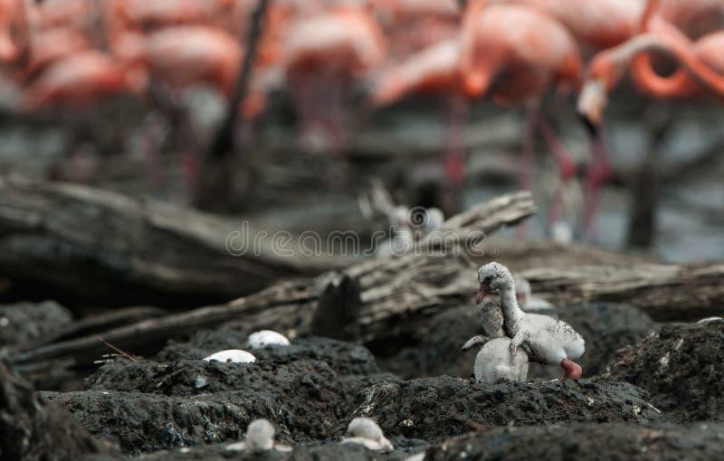 Pássaro de bebê do flamingo do Cararibe em um ninho. imagem de stock royalty free