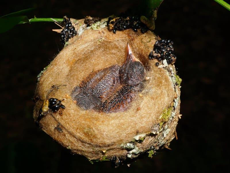 Pássaro de bebê dois do colibri rufous-atado no ninho fotos de stock