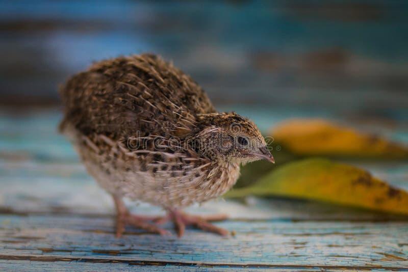 Pássaro de bebê macio de uma codorniz de uma cor natural fotografia de stock royalty free
