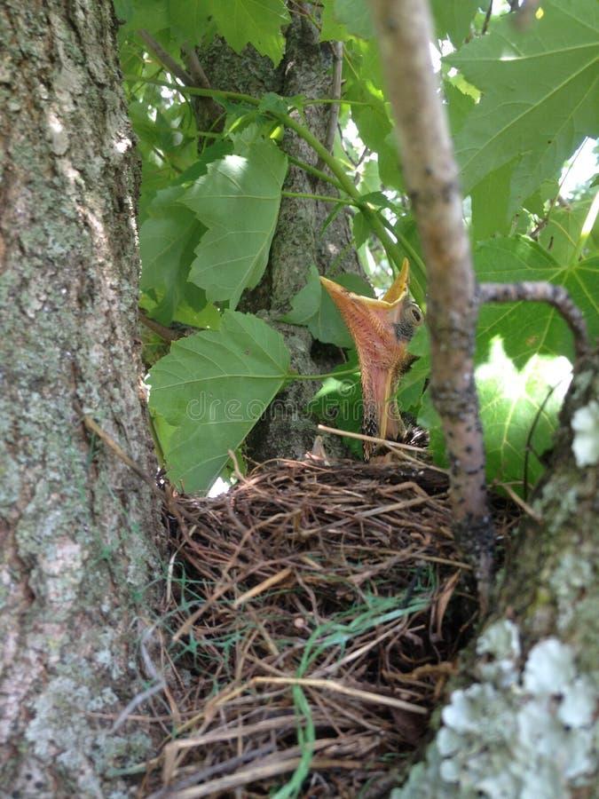 Pássaro de bebê Open-mouthed no ninho imagem de stock