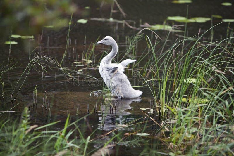 Pássaro de bebê de uma cisne no lago foto de stock