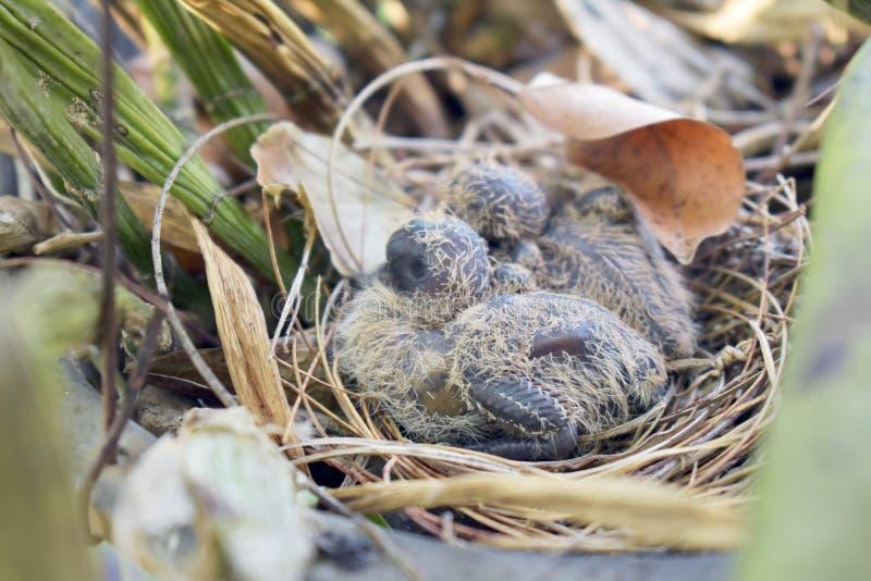 Pássaro de bebês no ninho fotografia de stock