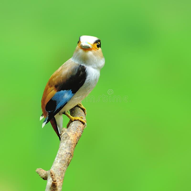 Pássaro de Broadbill da prata-breasted imagens de stock