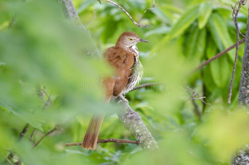 Pássaro de Brown Thrasher em Ridge Mountains azul, North Carolina imagens de stock royalty free