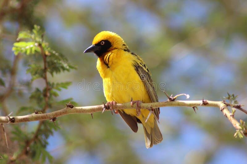 Pássaro de cabeça negra do tecelão na árvore foto de stock