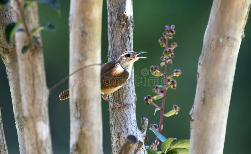 Pássaro de Carolina Wren, Clarke County GA EUA foto de stock