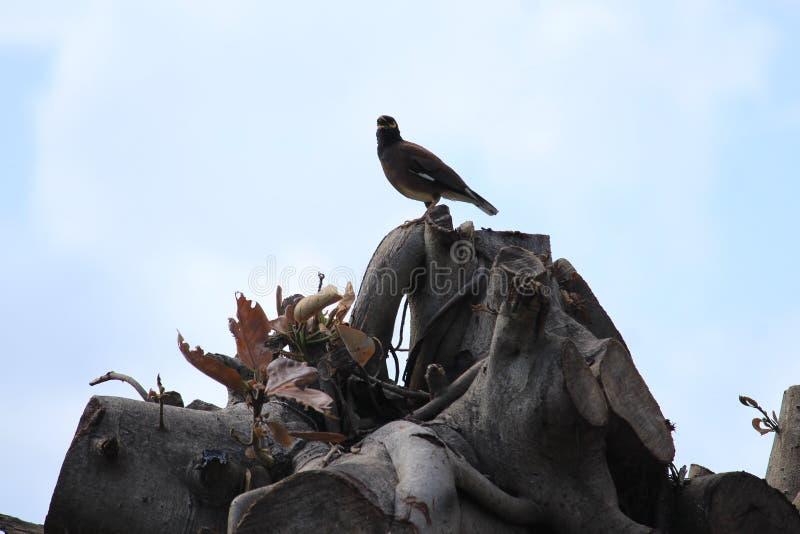 Pássaro de chilro alto em sobras de uma árvore imagem de stock