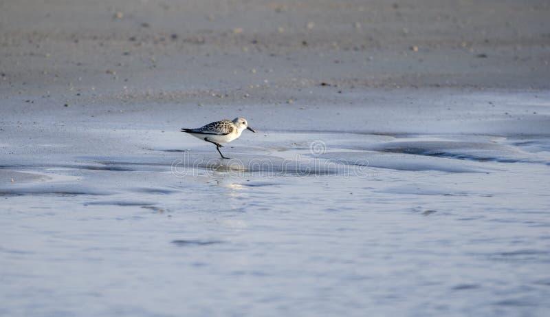 Pássaro de costa do Sanderling na praia, Hilton Head Island imagem de stock