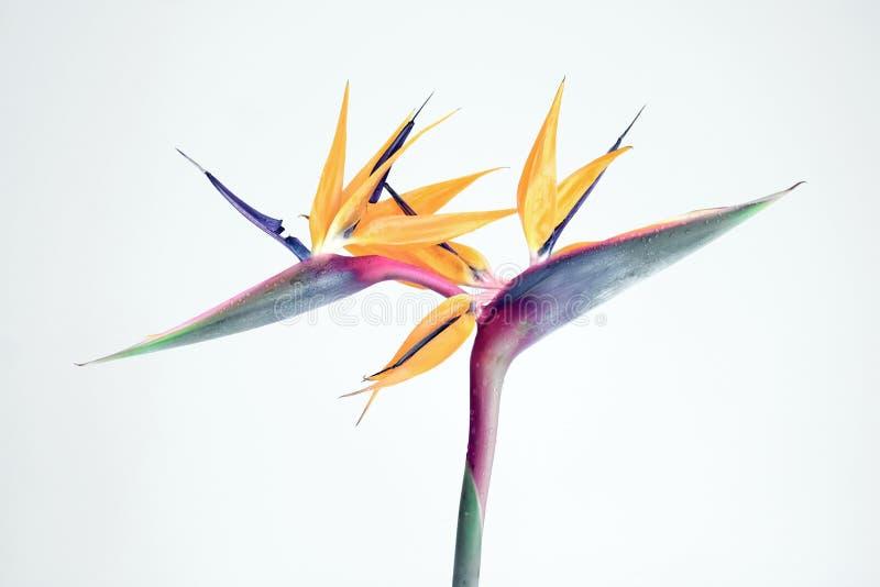 Pássaro de encantamento da flor de paraíso no jardim fotografia de stock