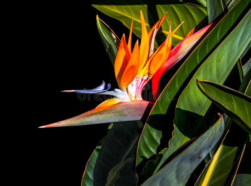 Pássaro de flor do paraíso e folhas de fundo preto próximo fotografia de stock royalty free