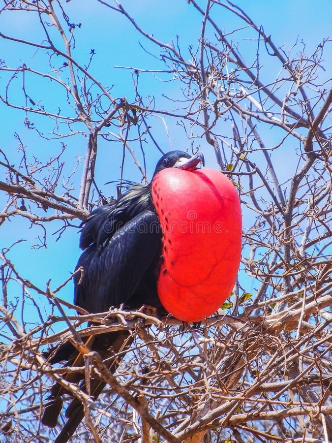 Pássaro de fragata com o malote vermelho inflado na ilha de Galápagos fotografia de stock