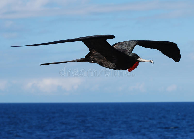 Pássaro de fragata magnífico no vôo foto de stock