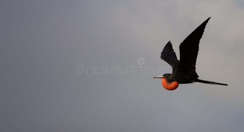 Pássaro de fragata no vôo imagens de stock